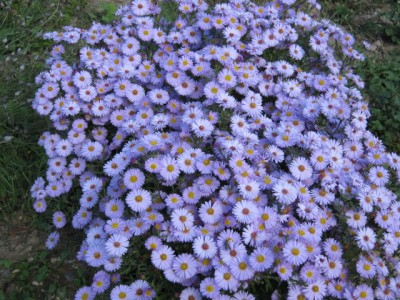 Puzzle  ASTERS